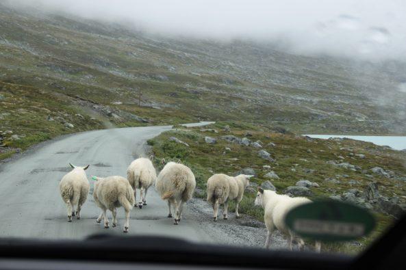 Schafe sind die Herren der Straße in Norwegen - nicht nur hier